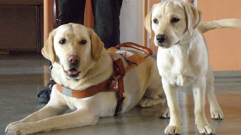 Visiting Japan with a Service or Guide Dog