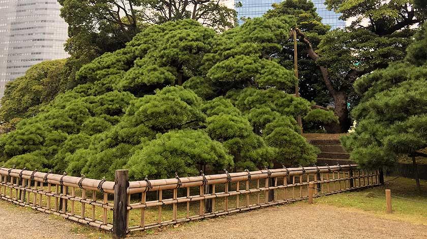 Hama Rikyu Gardens - 300 year old pine