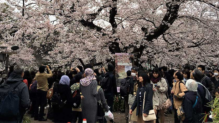 Crowds under cherry blossoms