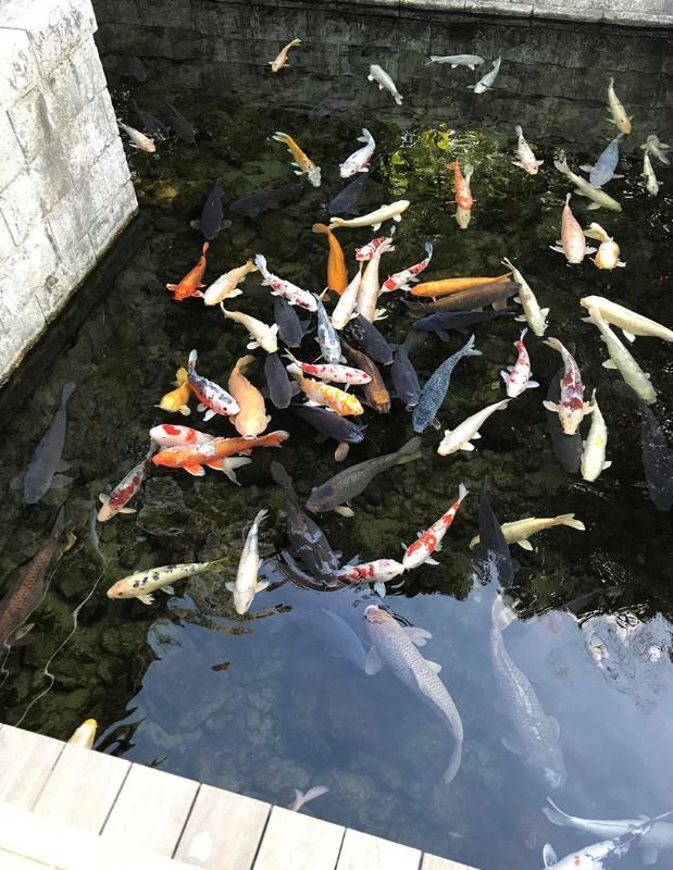 shirotori-garden-fish