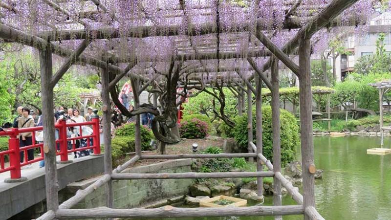 kameido-tenjin-wisteria