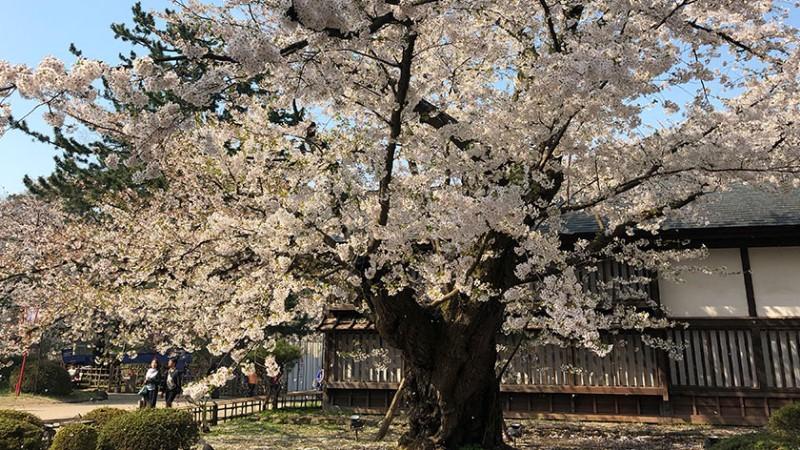 hirosaki-castle-old-cherry-tree
