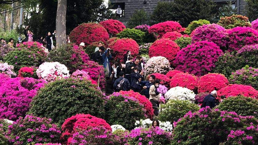 Azalea display on hill at Nezu Jinja