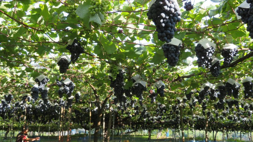 Vineyard in Nanyo